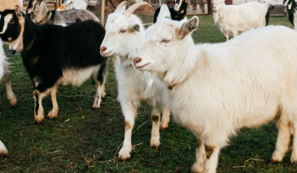 Lymanska Koza Cheese Farm